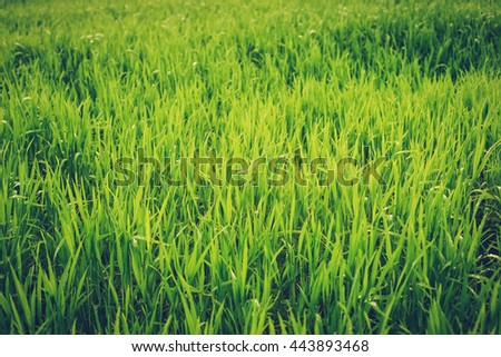 Field, nature. Rural agriculture. Growth of green cultivated plant in summer, spring on the farm. Food industry. Outdoor scene with land, sky. Season of farming. Row, meadow under sunlight. - stock photo