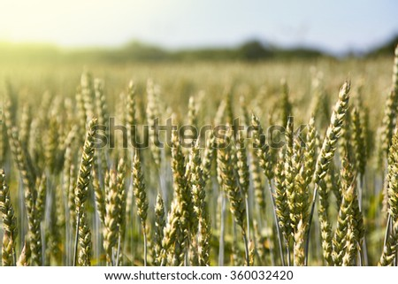 Field of a yellow head of spike wheat cereal in a sun light - stock photo