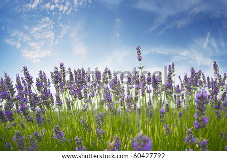Field of aromatic lavender bushes growing wild