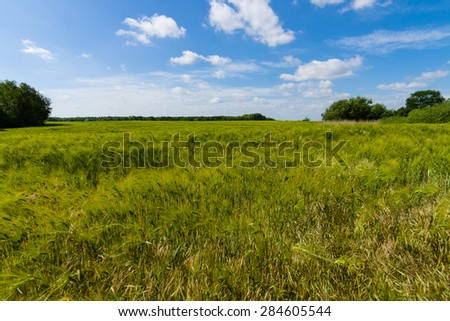 Field of barley. Rural landscape. - stock photo
