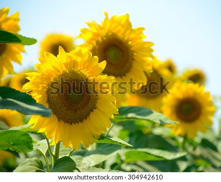 Field of Beautiful Bright Sunflowers Against the Blue Sky. Summer Flowers - stock photo