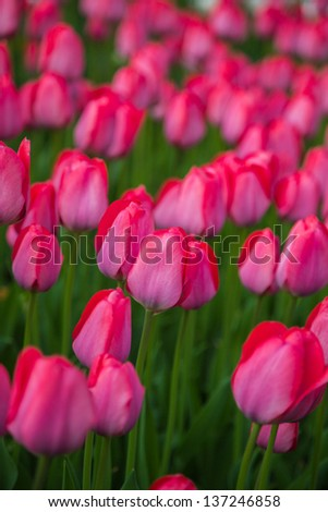 Field of beautiful colorful tulips in a  sunny Holland