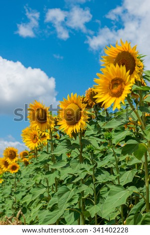 Field of beautiful golden sunflowers with cloudy blue sky. Selective focus. - stock photo