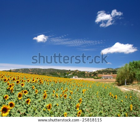 field of beautiful sunflowers