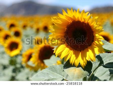 field of beautiful sunflowers (close up) - stock photo