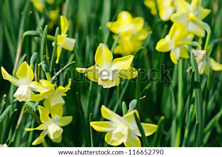 Field of beautiful yellow daffodils  in spring time - stock photo