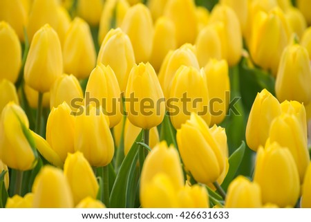 Field of beautiful yellow tulips