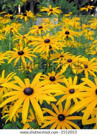 Field of Blackeyed Susan flowers, shallow DOF - stock photo
