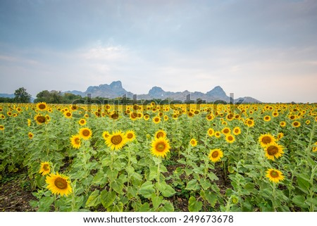 field of blooming beautiful sunflowers - stock photo