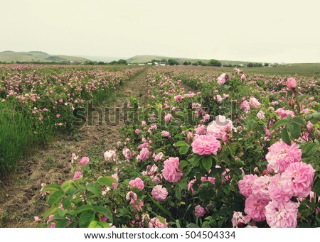 field of blooming pink damask roses at Bakhchisaray, Crimea,  local focus, shallow DOF, toned