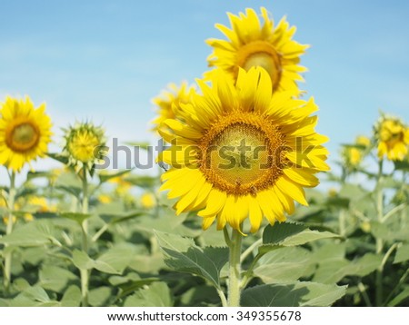 field of blooming sunflower in Thailand