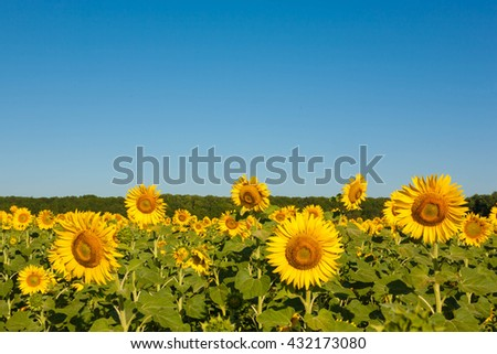 Field of blooming sunflowers and blue sky - stock photo