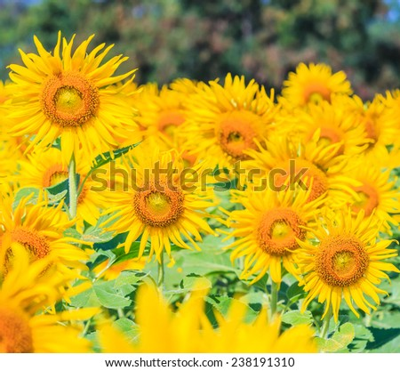 field of blooming sunflowers on a background  - stock photo