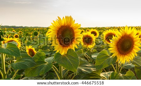 Field of blooming sunflowers, organic landscape background - stock photo