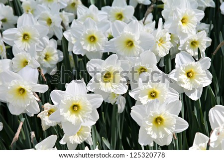 Field of blooming white daffodils in close view - stock photo