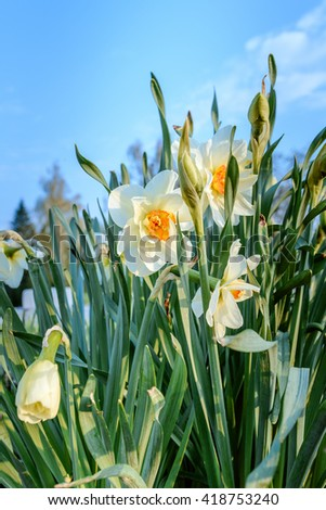 Field of blooming white daffodils in close view