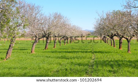 Field of blossoming almond trees with green germinated cereal plant and blue sky in Majorca, antique stone wall and mountainous horizon in the background - stock photo