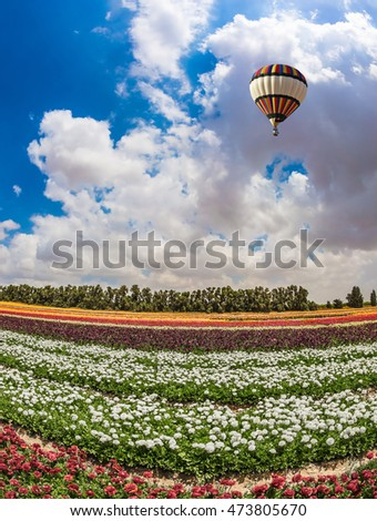 Field of blossoming garden buttercups-ranunculus. Above the flowers flying big bright balloon. Warm spring day in Israel