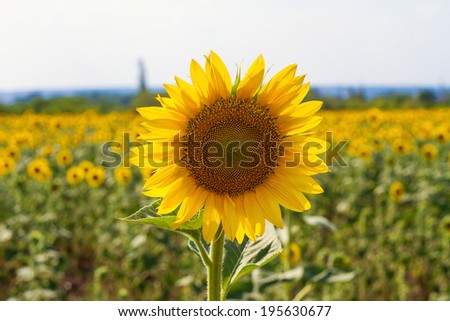 field of blossoming sunflowers