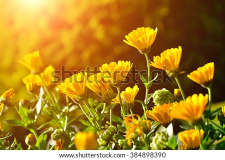 Field of bright orange calendula flowers under sunset beams. Summer colorful landscape. Selective focus at the upper flower.  - stock photo