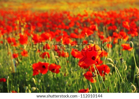 Field of bright red corn poppy flowers in spring - stock photo