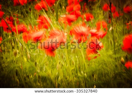 Field of bright red corn poppy flowers in summer. Flower moved by wind and panning effect - stock photo