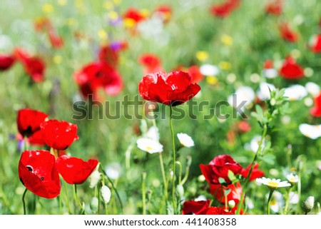 Field of bright red poppy flowers on spring meadow. - stock photo