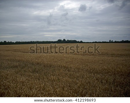 Field of brown cereal crop close to harvest time. Hedge in the background with grey sky.