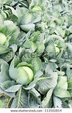 Field of cabbage plants
