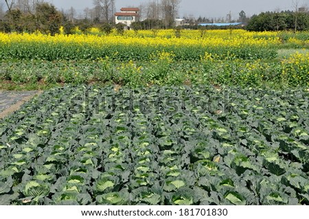 Field of cabbages and yellow Rapeseed oil flowers on a Sichuan Province farm in Pengzhou, China