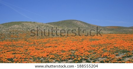 Field of California Golden Poppies, Antelope Valley, CA - stock photo