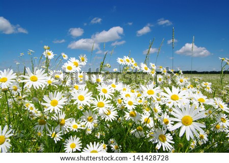 field of camomiles and blue cloudy sky - stock photo