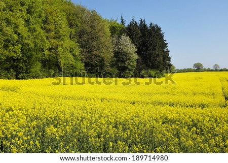 Field of canola in front of a forrest - stock photo