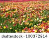 field of colorful flowers - stock photo