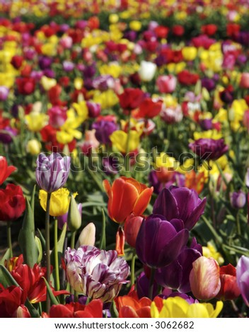 field of colorful mixed tulips