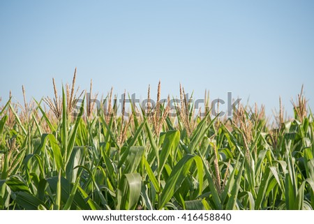 Field of Corn Plants