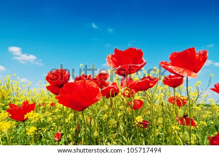 Field of corn poppy flowers (Papaver rhoeas) against the blue sky in spring morning - stock photo