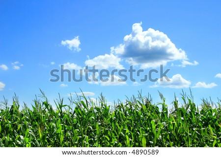 Field of corn stalks in August - stock photo