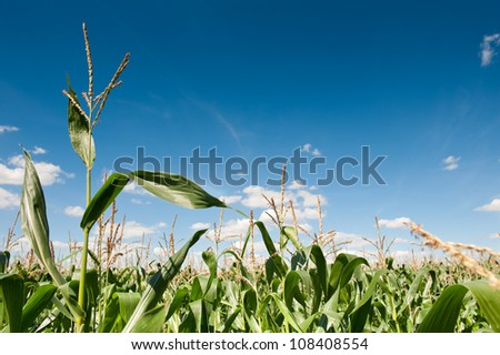 Field of corn with blue sky - stock photo