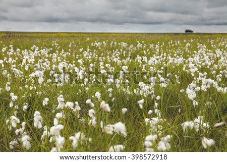 Field of cotton grass on Iceland - stock photo