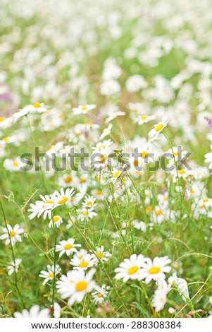 Field of daisies. - stock photo