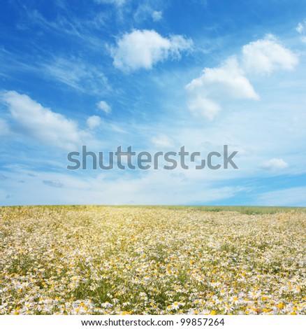 field of daisies - stock photo