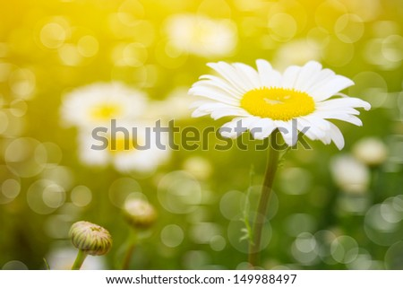 Field of daisies and sunshine