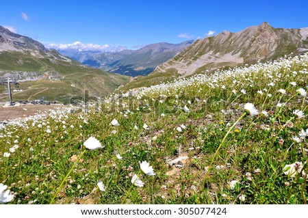 field of daisies in mountain landscape in summer (ski resort Tignes) - stock photo