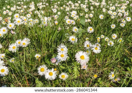 field of daisies in spring in italy - stock photo