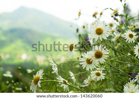 field of daisies in the mountains