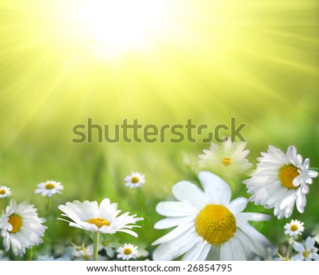 Field of daisy - stock photo