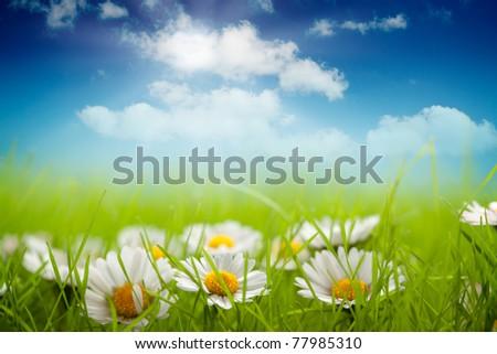 field of daisy and blue sky - stock photo