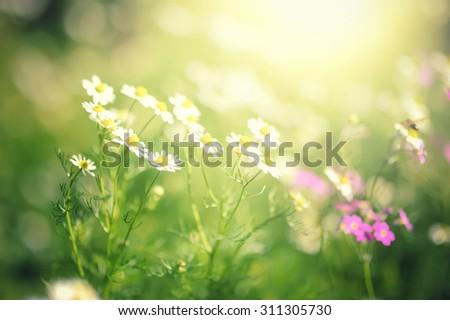 field of daisy flowers and sun light. - stock photo