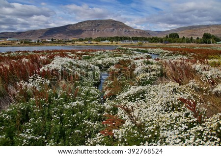 Field of daisy flowers at Laguna Nimez, El Calafate, Argentina - stock photo